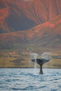 Whale Tail Resized