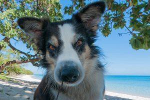 Maui Dog